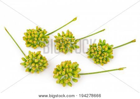 Angelica plant