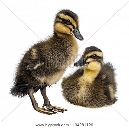 two cute ducklings - indian runner duck - white background