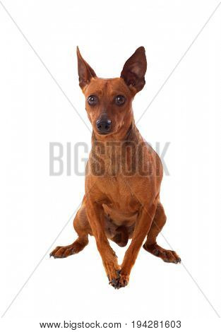 Beautiful brown dog isolated on a white background