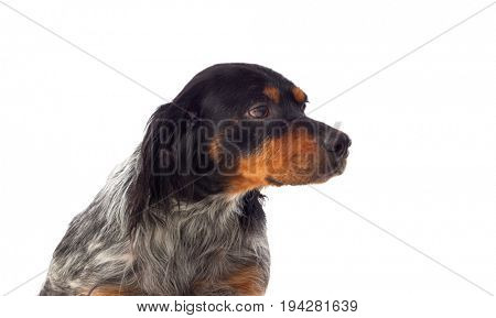 Portrait of a spaniel breton isolated on a white background