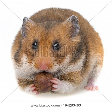 hamster eating a nut isolated on a white background