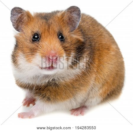 little hamster isolated on a white background