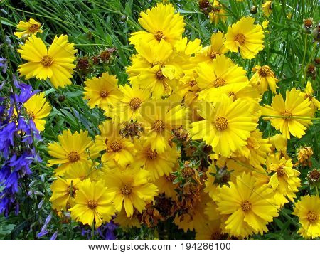 Yellow daisies on shore of the Lake Ontario in Toronto Canada July 3 2017