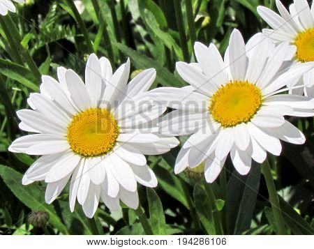 White daisy on shore of the Lake Ontario in Toronto Canada July 3 2017