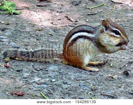 Chipmunk in High Park of Toronto Canada July 3 2017