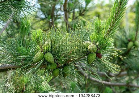 Green pinecones in Block Island, Rhode Island during a summer visit