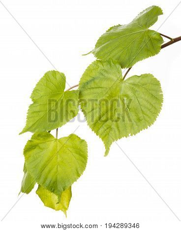 a spring green lime branch isolated on white