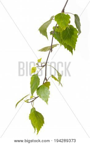 fresh birch branch isolated on a white