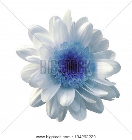 White-blue flower chrysanthemum. Garden flower. White isolated background with clipping path. Closeup. no shadows. Nature.