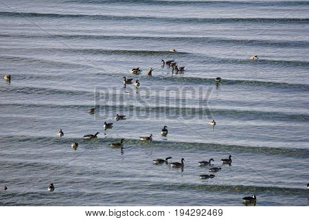 A flock of migrating Canada geese (Branta canadensis) swims in the water of Little Traverse Bay, off the shore of Bayfront Park, in Petoskey, Michigan, during November.