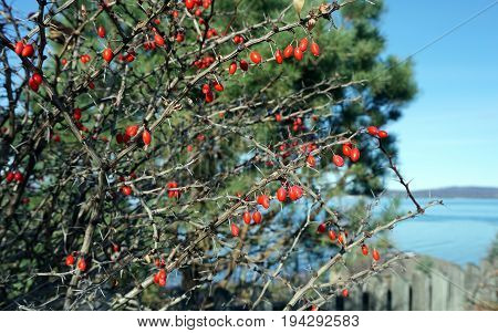 Red barberries cling to a barberry bush (Berberis thunbergii) in Sunset Park in Petoskey, Michigan during November.