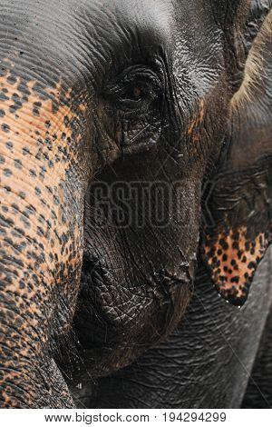 Asiatic elephant having a bath in the river, Sri-Lanka. Close-up. Vertical