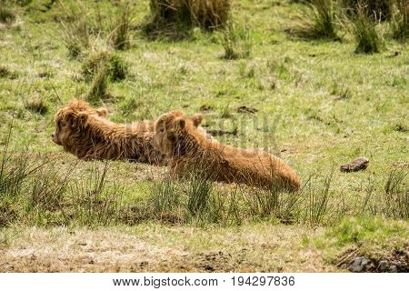 Baby Highland cattle dwelling in the field, Scotland, UK