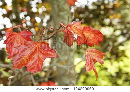 Maple-leafed - Purple King - With Beautiful Red Leaves