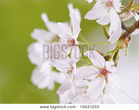Cherry blossom flowers in spring Someiyoshino species in full bloom.