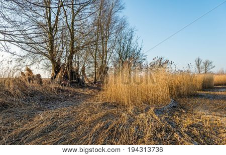 Wetlands in the Netherlands after harvesting the reed by the reed cutter. It is a sunny in the end of the Dutch winter season. In the background bundles of reeds stand against a tree to dry.