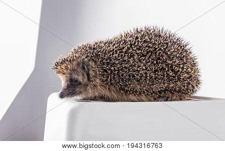Cute hedgehog on a white box. Cute hedgehog on a photo shoot