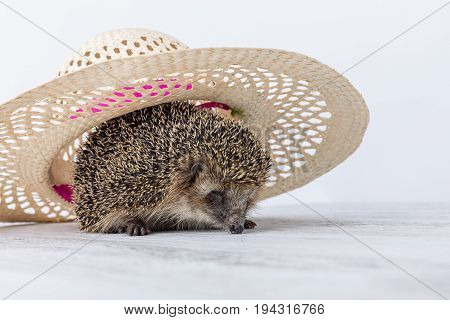 Hedgehog under the hat. Cute small Hedgehog