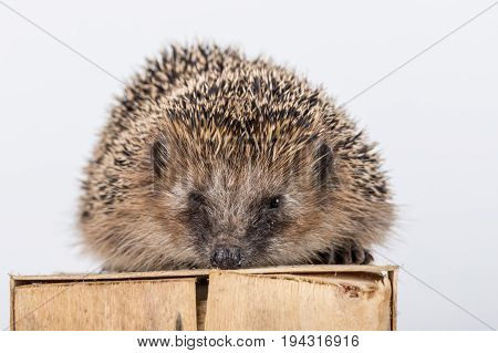 Cute hedgehog on a wooden box. Small hedgehog