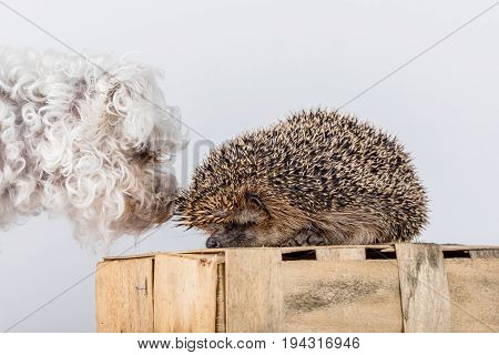 The dog examines the hedgehog. Friendship between a hedgehog and a dog.