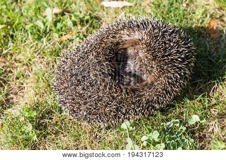 A little hedgehog curled into a ball is in the grass. Cute hedgehog.