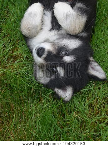 Really cute alusky puppy laying on his back in grass.