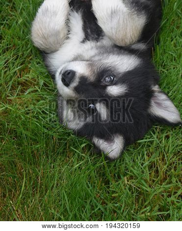 Adorable husky puppy rolling around on his back.