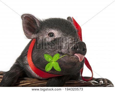 a cute little black pig close up