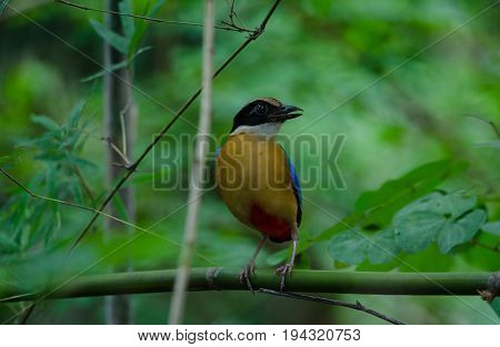 Blue-winged Pitta In Nature Of Thailand