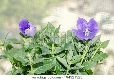Platycodon Grandiflorus Astra Blue, Balloon Flower With Buds And Green Leafs, Isolated