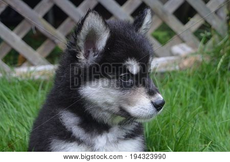 Adorable face of a sweet expressive alusky puppy dog.