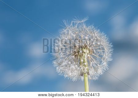 Dandelion Tranquil Abstract Closeup Art Background.