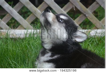 Really cute alusky puppy ready to howl while sitting.