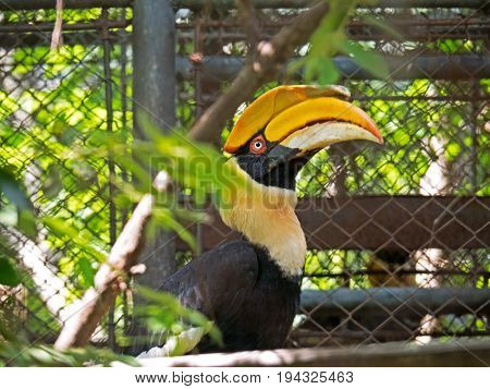 Closeup Great Hornbill with Green Leaves Foreground