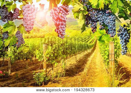 Seasonal background. Picturesque vineyard at sunset. Red grapes hanging in vineyard. Rows of grapes in Stellenbosch near Cape Town, South Africa. Branch of grapes ready for harvest.
