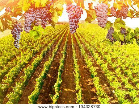 Branch of grapes ready for harvest. Picturesque aerial view of vineyard in Napa Valley, San Francisco Bay, California. Red grapes hanging in vineyard. Seasonal background. Sunset shot.