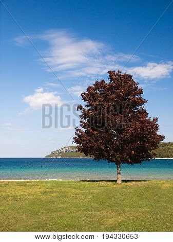 Summer in lake Huron Lion with maple tree