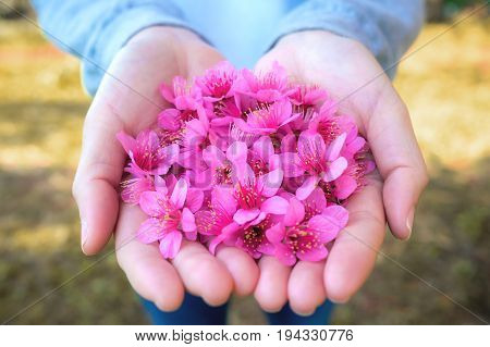 Close up image of pink Wild Himalayan Cherry flowers (Sakura of Thailand) on woman hands with blurred bokeh background