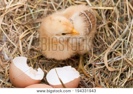 baby chicken with broken eggshell in the straw nest.