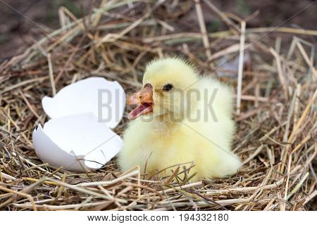 Cute little domestic gosling with broken eggshell in straw nest.