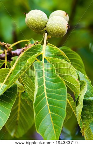 Foliage and fruits of a common walnut (Juglans regia).