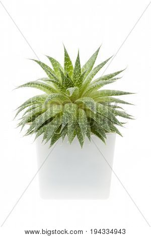Succulent houseplant aloe vera in a pot isolated on white background