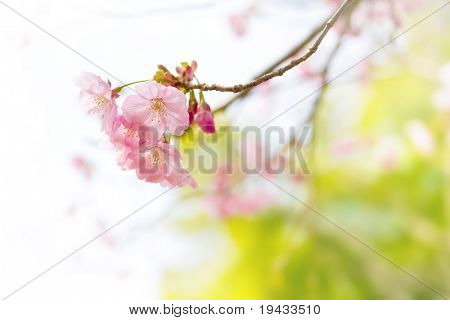Cherry blossom with pastel-like soft spring green in background.
