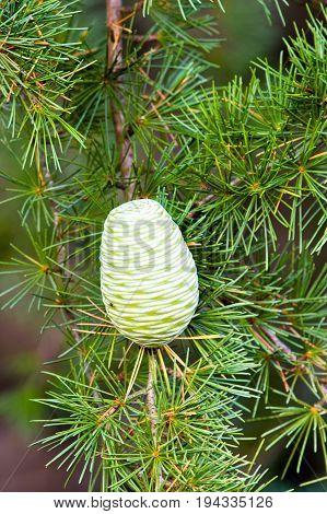 Foliage and cone of Himalayan cedar (Cedrus deodara).