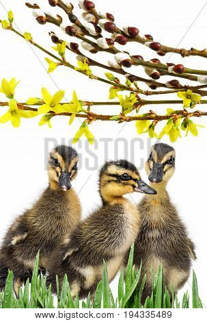 three ducklings ( indian runner duck) isolated on a white background