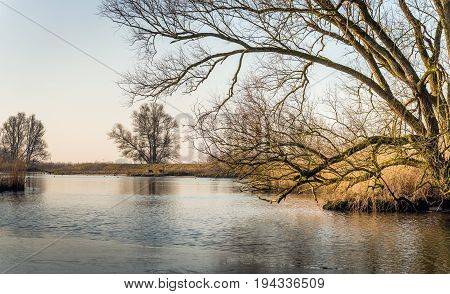 Pamoramic image of a bare tree with irregular branches at the edge of the water in a Dutch nature reserve. It is a the end of the winter season. A thin layer of ice is on the water surface.