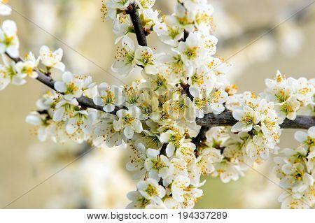 Blackthorn (Prunus spinose) branch in flower shot in early spring.