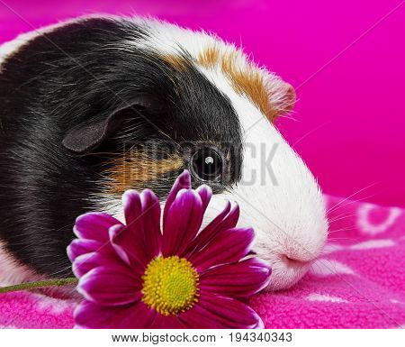 cute guinea pig with a pink flower - pink background