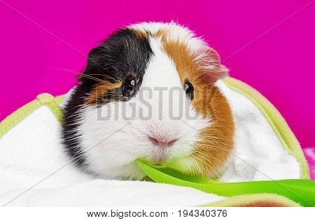 cute guinea pig with a spoon - pink background