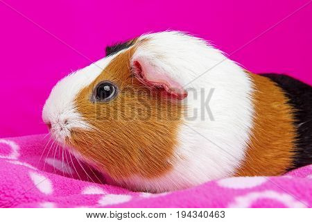 cute guinea pig on a pink background